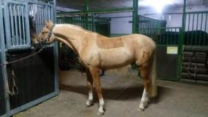 hunterschnitt mit muster - Pferd Scheren Muster