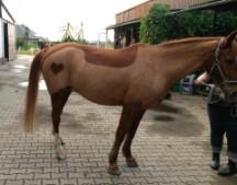 deckenschnitt mit muster - Pferd Scheren Muster
